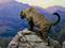 پلنگ کوهستان