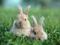 خرگوش های خاکستری