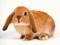 عکس خرگوش با زمینه سفید