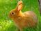 خرگوش حنائی بامزه