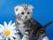 والپیپر بچه گربه و گل سفید