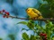 عکس پرنده زرد روی شاخه درخت