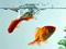 والپیپر ماهی قرمز در آکواریوم