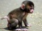 بچه میمون خیلی کوچولو