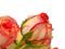 گل رز لب ماتیکی