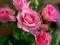 خوشگلترین گل های رز صورتی