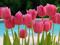 گلهای لاله طبیعی زیبا