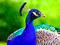 پوستر طاووس زیبا