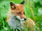 پس زمینه روباه در چمنزار