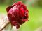 گل رز سرخ و قطره های باران