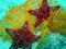 ستاره دریایی قرمز