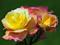 عکس با کیفیت گل رز
