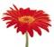 تک شاخه گل قرمز