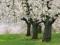 شکوفه های درخت بهاری سفید
