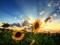 والپیپر زیبا گل آفتاب گردان