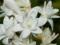 گالری عکس گل مریم
