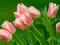 عکس گل های لاله صورتی