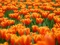 مزرعه گل های لاله هلند