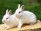 عکس دو خرگوش سفید