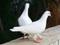 عکس دو کبوتر سفید