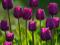 گل لاله بسیار زیبای بنفش