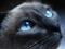 گربه سیاه و چشم آبی