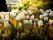 مزرعه گل های لاله سفید