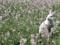 خرگوش سفید در میان گلها
