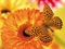 پروانه زرد روی گل