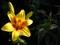 گل لیلیوم زرد