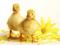 جوجه اردک های زرد بامزه