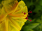 گل لاله عباسی زرد