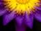 عکس گل بنفش و زرد