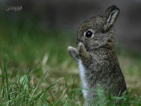 عکس بچه خرگوش خاکستری aks bache kharghosh