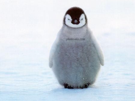 عکس جوجه پنگوئن penguin chicks