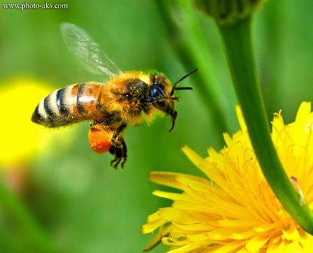 جمع آوری شهد گل زنبور عسل Wasp honey