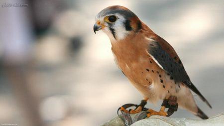 پرنده شاهین Flying Falcons