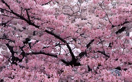 شکوفه بهاری درخت هلو Peach Blossom Spring