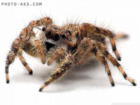 عکس رطیل خطرناک Tarantula spider
