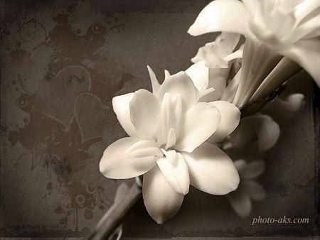 والپیپر گل ارکیده سفید orchid wallpaper