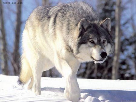 گرگ در فصل زمستان wolf in winter