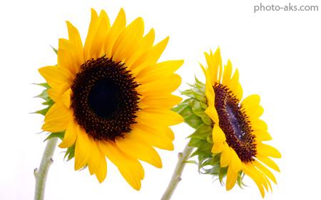 گل آفتابگردان sunflower wallpapers