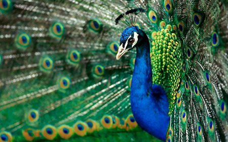 پرنده طاووس آبی زیبا 4k peacock wallpaper
