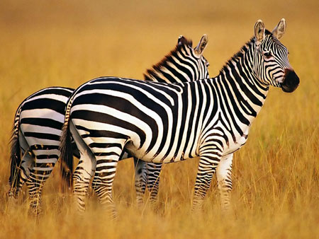 عکس گوره خرها 4k zebra wallpaper