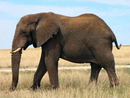 عکس فیل آفریقای بزرگ african elephant wallpaper