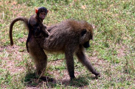 عکس بچه میمون بابون baby baboon