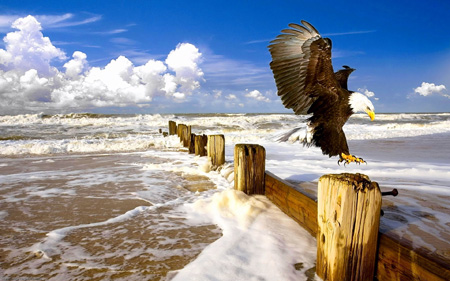 عقاب سر سفید در ساحل دریا white head eagle