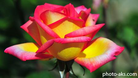 گل رز دو رنگ بسیار زیبا beautiful rose flower