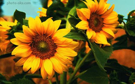 زیباترین گلهای آفتابگردان beautiful sunflower