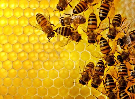 عکس زنبورهای عسل روی شانه honey bee wallpaper